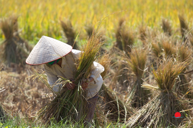 Harvesting season in Cao Bang